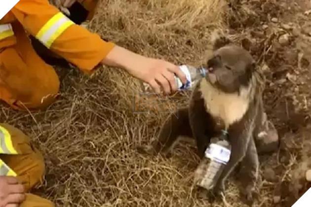 Những con gấu túi được cho uống nước để lấy lại sức sống