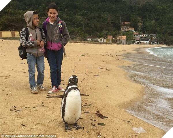 Chú chim cánh cụt vượt 8000km mỗi năm để thăm ân nhân lúc nhỏ - Ảnh 6