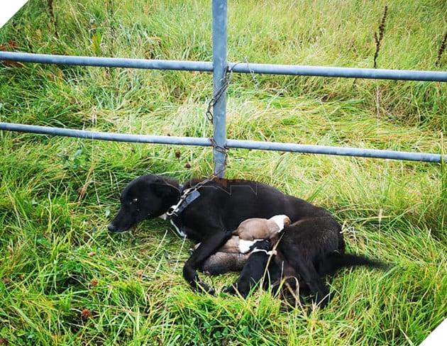 Bỏ rơi một chú chó chỉ 2 tuổi trong tình trạng bị xích mà không có nước, thức ăn hoặc nơi trú ẩn gần như có thể giết chết nó