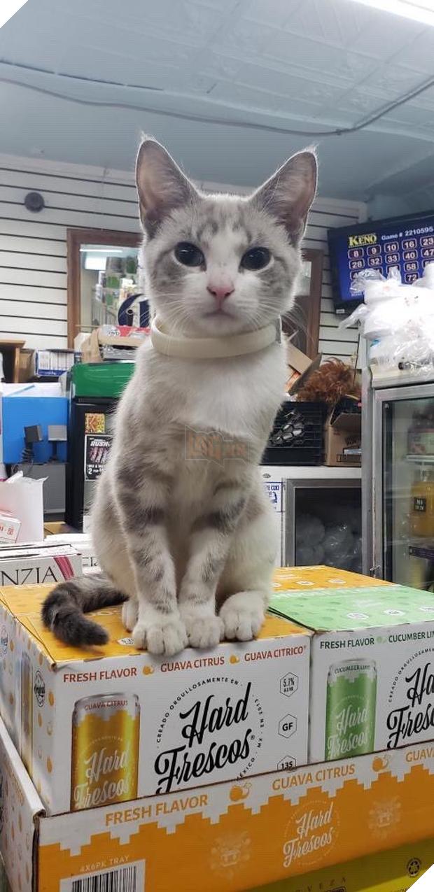 Tuyển tập những chú mèo chăm chỉ ngồi trông hàng và sở hữu phong thái như thể chính chúng nó mới là ông chủ - Ảnh 11.