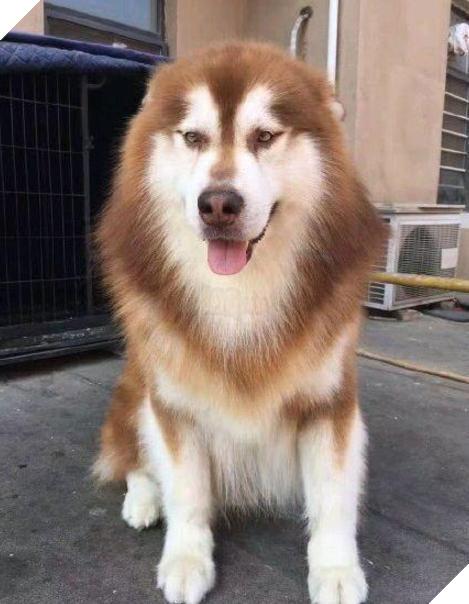 Chú chó với bộ lông mềm mại, bóng mượt ban đầu. (Ảnh: Weibo)