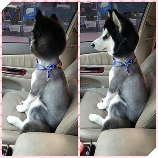 """Phải công nhận rằng chú chó này trở nên """"chất"""" hơn rất nhiều nhờ quả đầu được tạo ra từ việc cạo sạch lông bên dưới. (Ảnh: Internet)"""