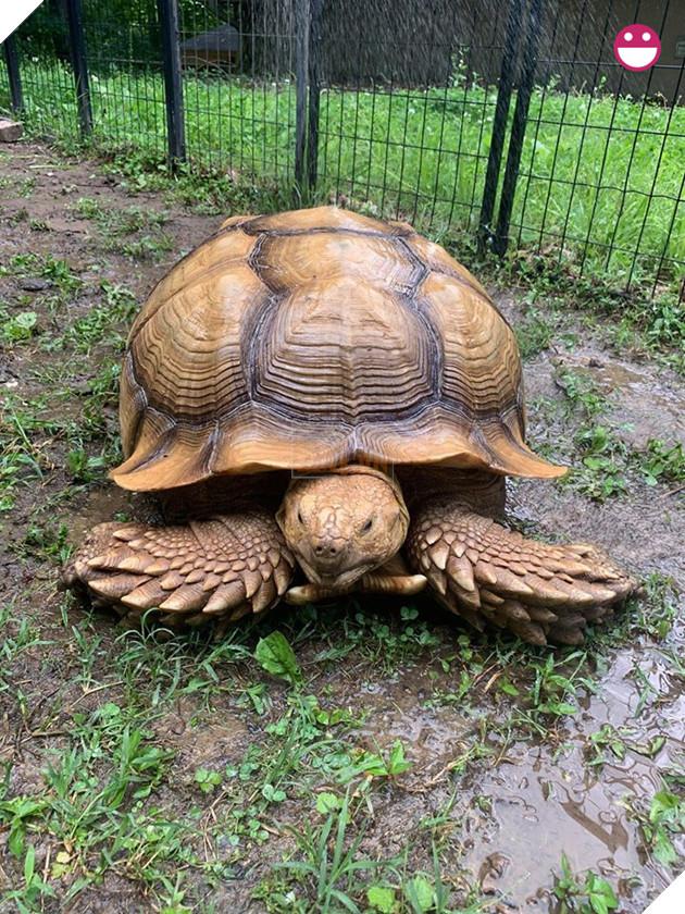 Chú rùa bỏ đi phượt suốt hơn 3 tháng được tìm thấy cách nhà tận 200 mét 2