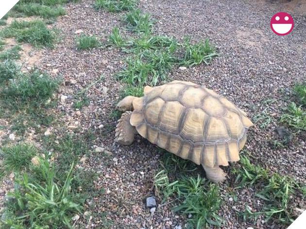 Chú rùa bỏ đi phượt suốt hơn 3 tháng được tìm thấy cách nhà tận 200 mét 3