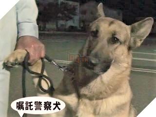 Chú chó nghiệp vụ cực giỏi được tuyên dương nhận thưởng nhưng lại xấu hổ bám chủ mãi không buông