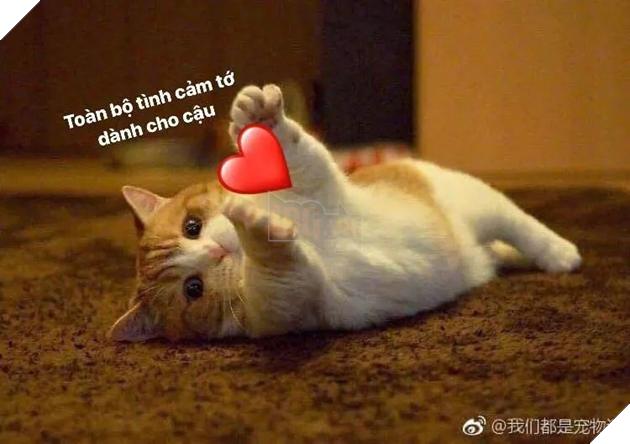 Mèo nằm đưa hai chân trái tim: Toàn bộ tình cảm tớ dành cho cậu