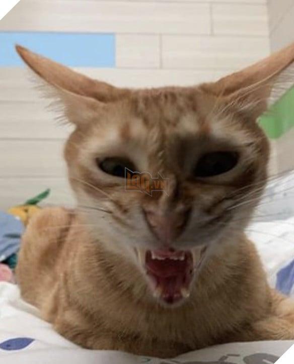 Mèo vàng mặt nhăn nhó khó chịu nhìn như ác quỷ