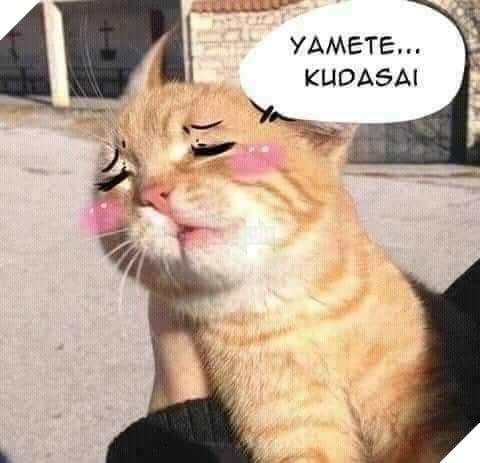 Mèo vàng mặt ửng hồng nói yamete kudasai